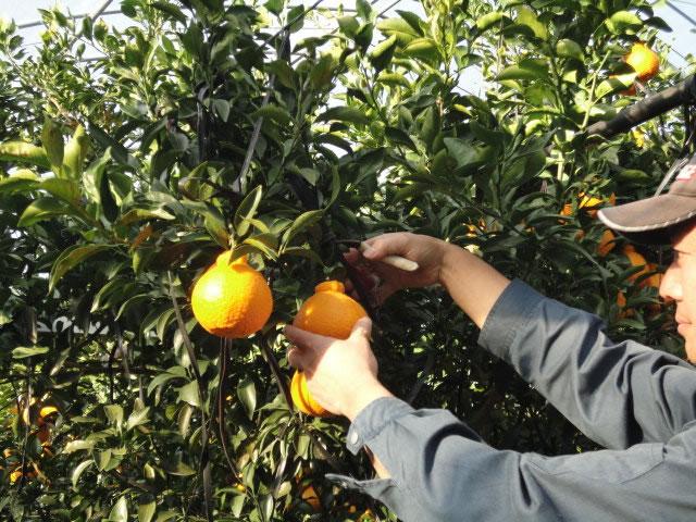 デコポン管理講習会・収穫開始