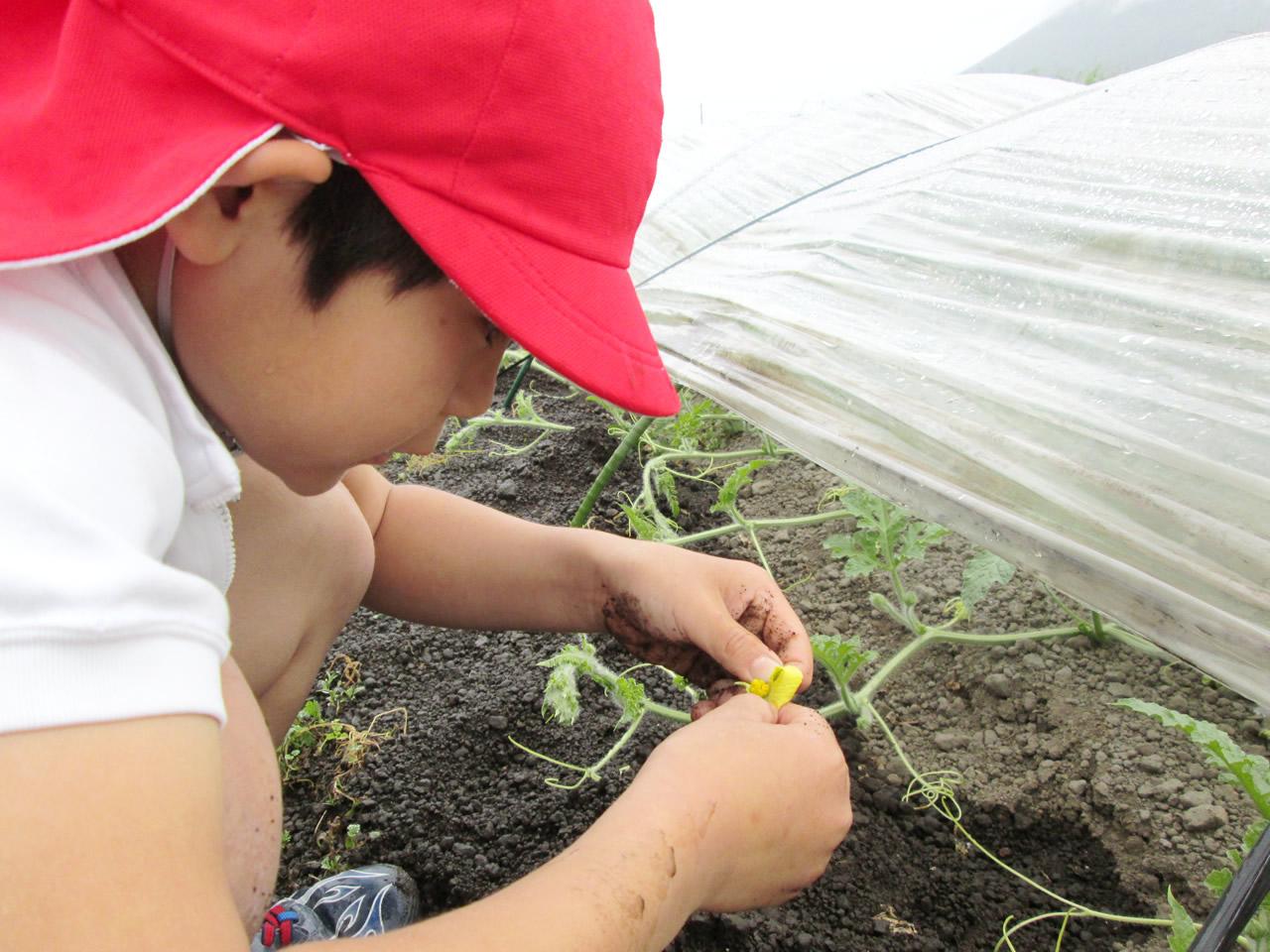徳光小学校アグリスクール交配作業