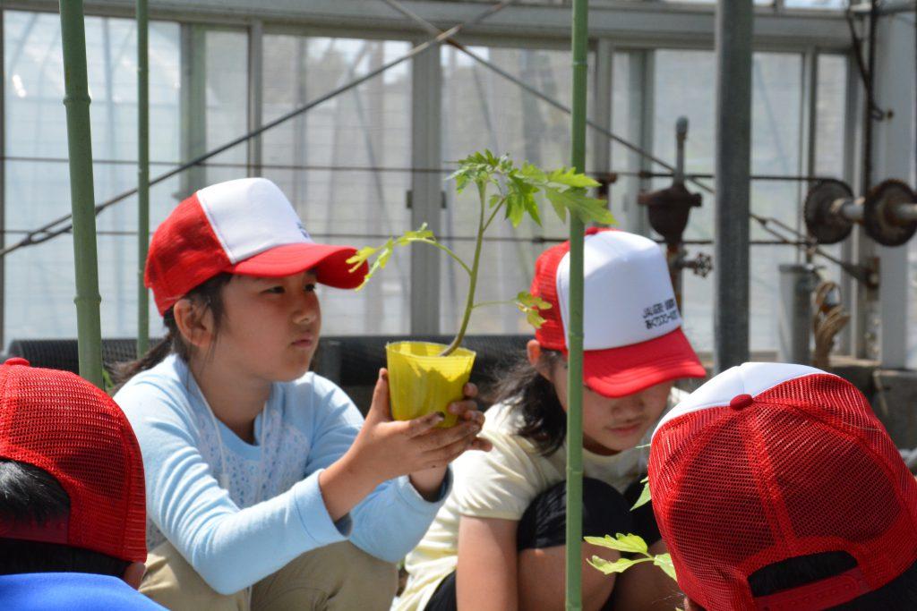 苗からトマトの匂いが…